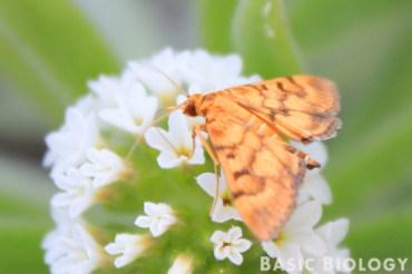Moth feeding on flowers