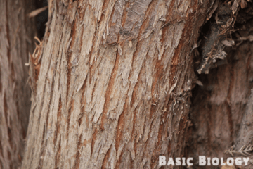 Bark - Introduction to plants