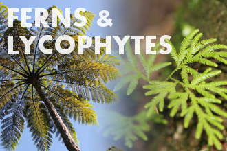 Ferns and lycophytes