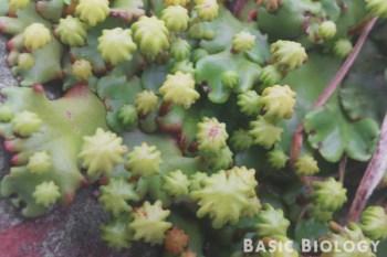 Sporophyte of thalloid liverworts