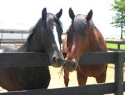 Baskin Farm two horses