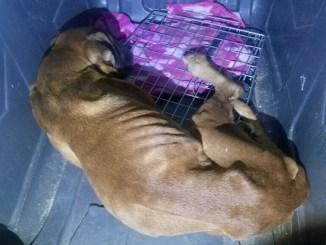 Polizia mette in salvo 14 cani, erano maltrattati e rinchiusi dentro appartamento a Bastia