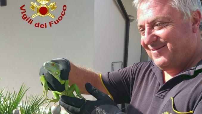 Un'iguana in giardino a Bastia Umbra recuperato dai vigili del fuoco