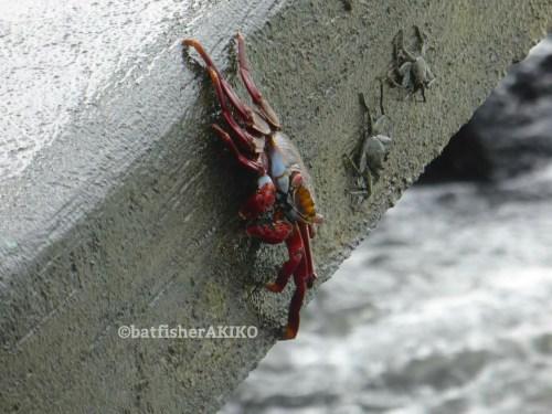 橋板の側面を歩くガラパゴスベニイワガニたち