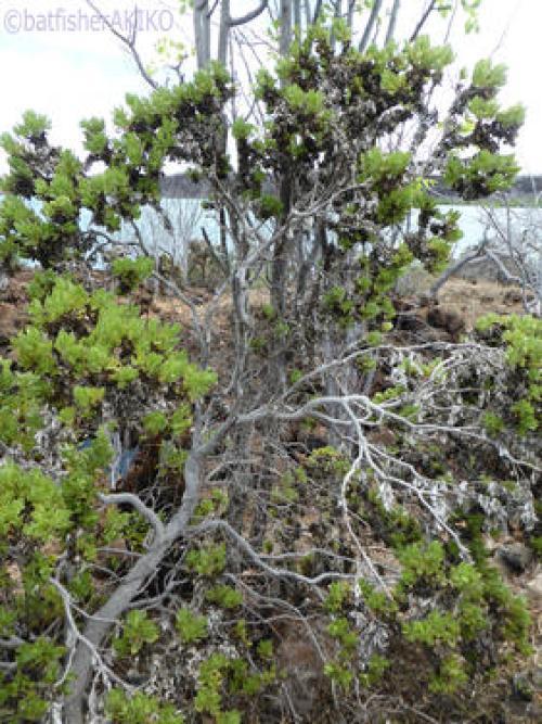 バルトラ島のスカレシア(scalesia crockeri)
