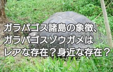ガラパゴス諸島の象徴、ガラパゴスゾウガメはレアな存在?身近な存在? アイキャッチ