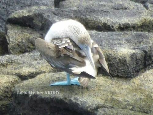 変なポーズで止まるアオアシカツオドリ