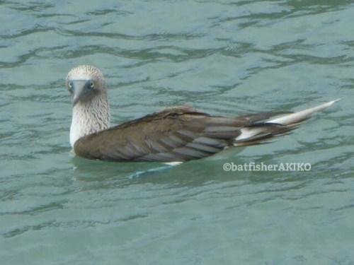 水面のアオアシカツオドリ