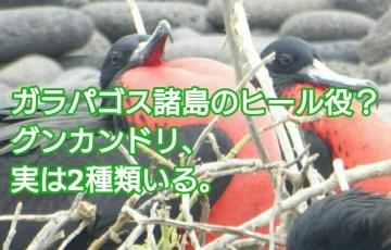 ガラパゴス諸島のヒール役?グンカンドリ、実は2種類いる。 アイキャッチ