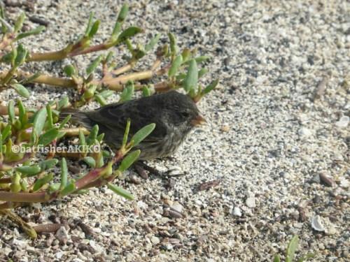 種を食べるフィンチ