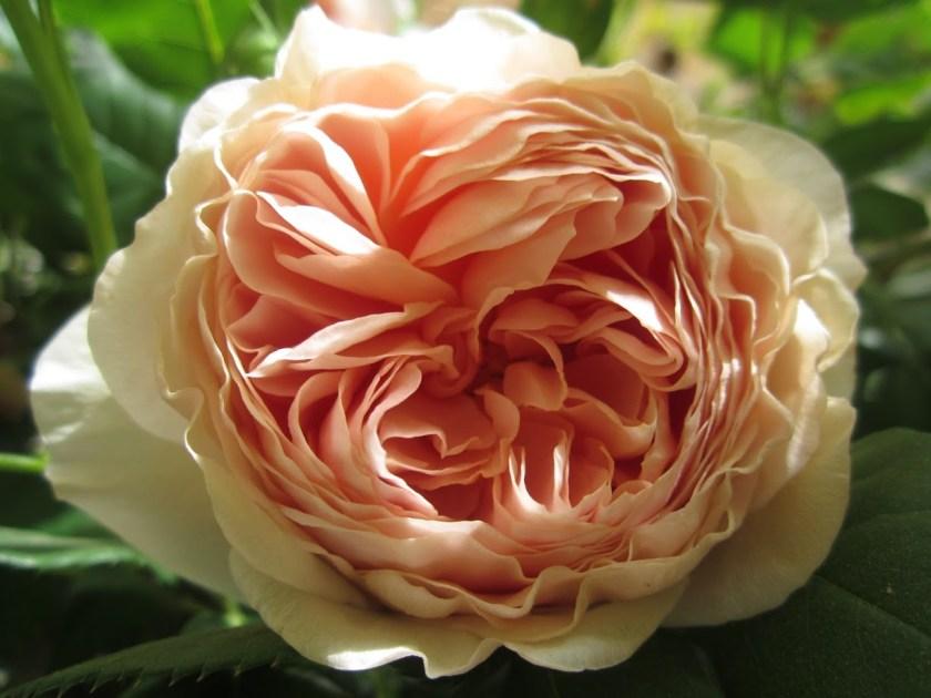 """אתמול חמישה, היום עשרות ומחר אלפים. התשוקה לאין סוף עלי הכותרת. ורד אנגלי """"וילאם מוריס"""" (קוטר של עשרה ס""""מ) בגינתה של אמי"""
