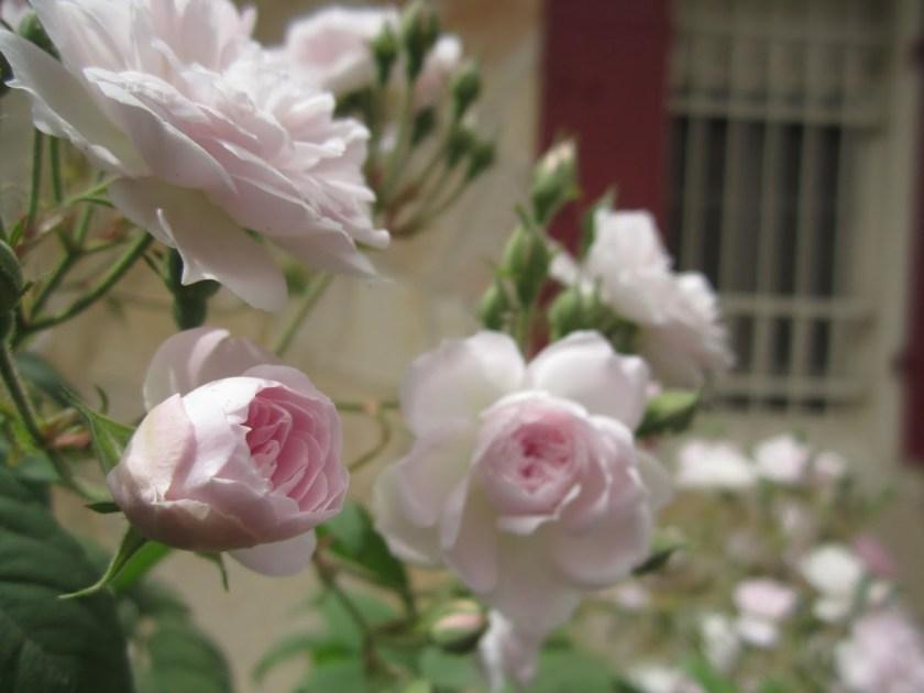 """קוטר מוקטן שאינו עולה על שלושה ס""""מ - אדפטציה לסביבה של ורד אנגלי."""