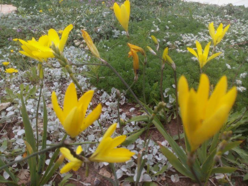 ספרקסיס גרנדיפלורה. שנה הבאה יפרח כבר באמצע המדשאה