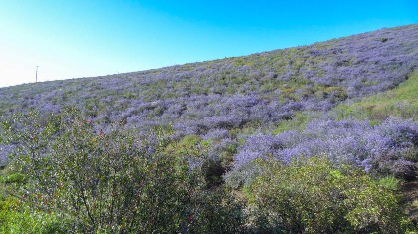 מרהיב זה אנדרסטייטמנט: ציאנותוס בקליפורניה