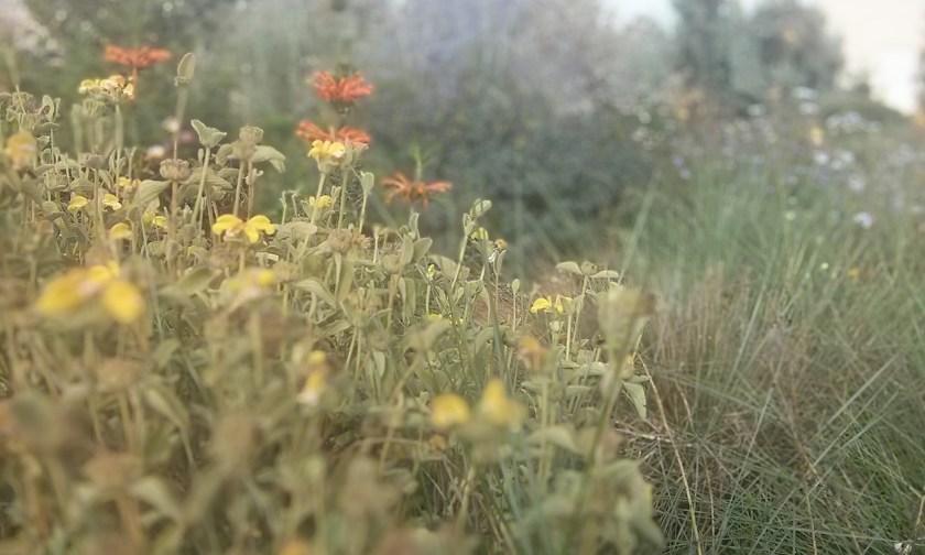בסיום הפריחה כבר, שלהבית שיחנית