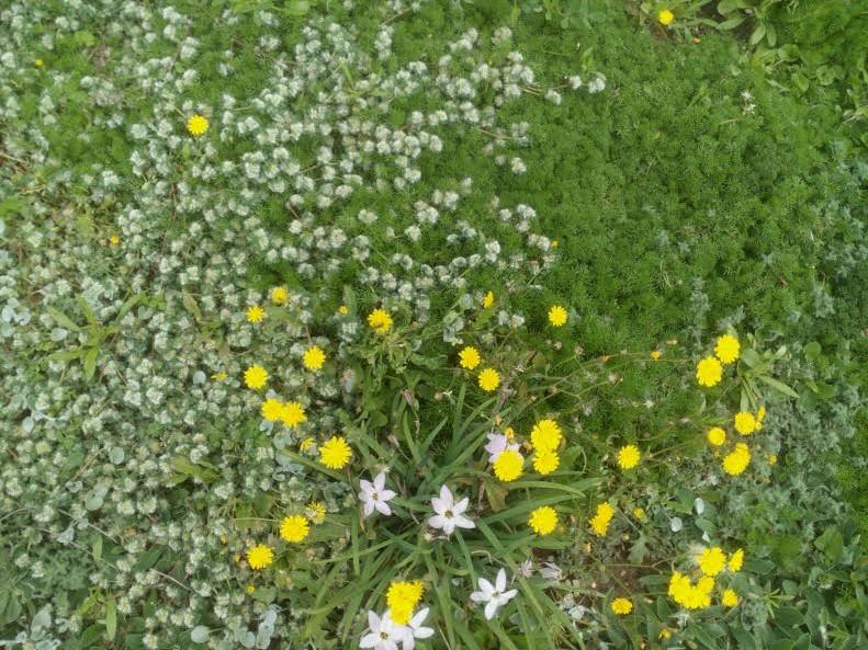 מדשאת אחו אפריל 2016 עם אפיון וניסנית