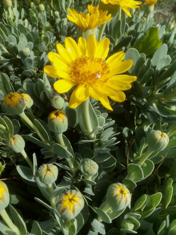 """אותונית צהובה - """"פרח שמש"""" נפלא."""