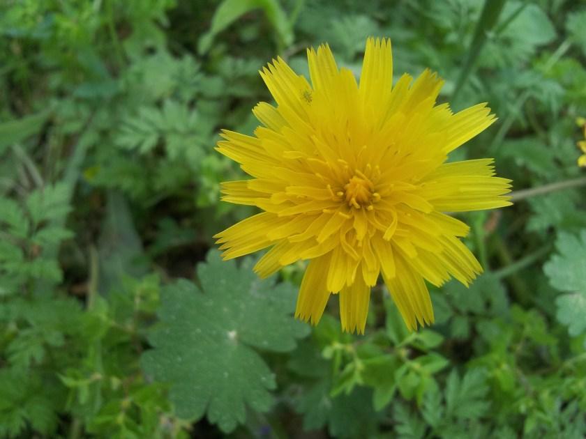 פרח גדול מאוד ועלווה שיוצרת כמעט חצי כדור - לא מתאימה למדשאה: כתמה עבת שורש