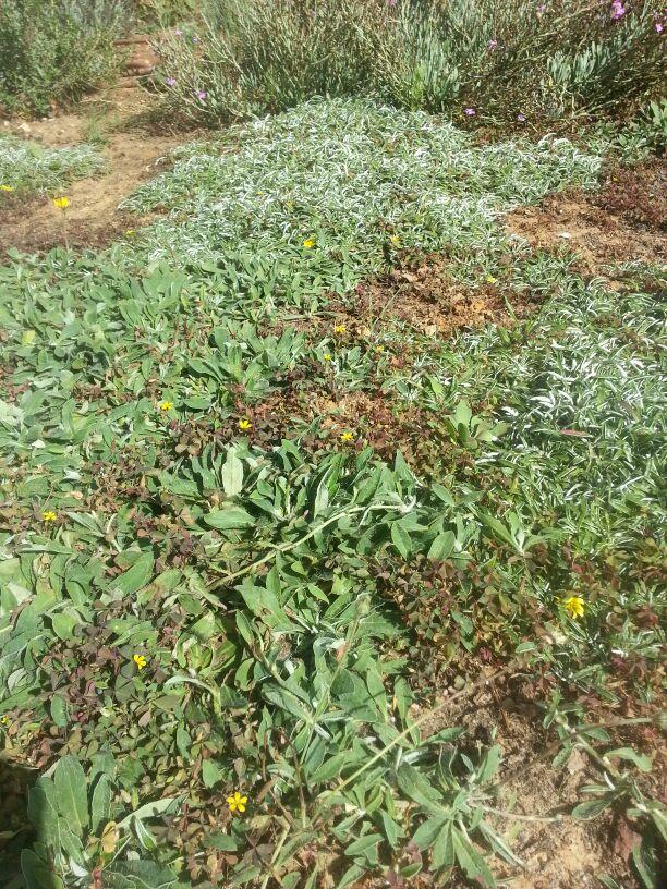אחו מדשאה בבניה - היריציום פילוסלה ודימונדיה מרגריטה מתפתחים