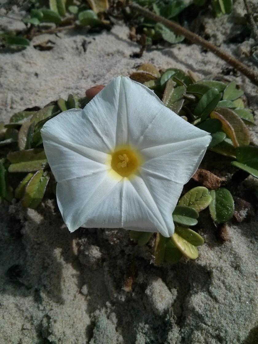 משרישה במפרקים - לפופית החוף