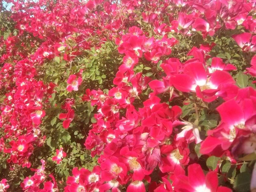פשטות - ורד רד מיידלנד