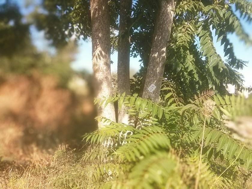 סימון אילנתה כעץ לשימור?