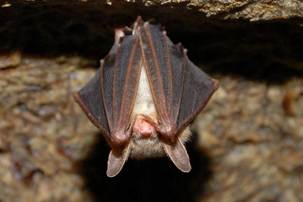 Image shows a Little Brown Bat hanging upside down from a cave ceiling. Its wings cover most of its body with its ears poking out past them.