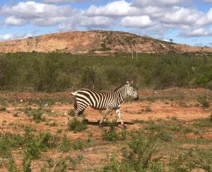 Tsavo - Zebra along the road