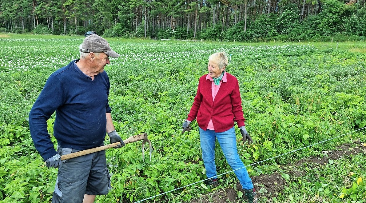 Anton und Martha Post ernten die ersten Frühen der Kartoffelsaison. (Foto: Knut Kuckel)