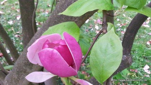 Magnolien im Schoental (2)