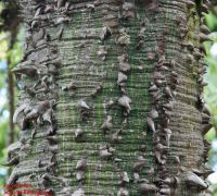 Borke von Ceiba speciosa Florettseidenbaum