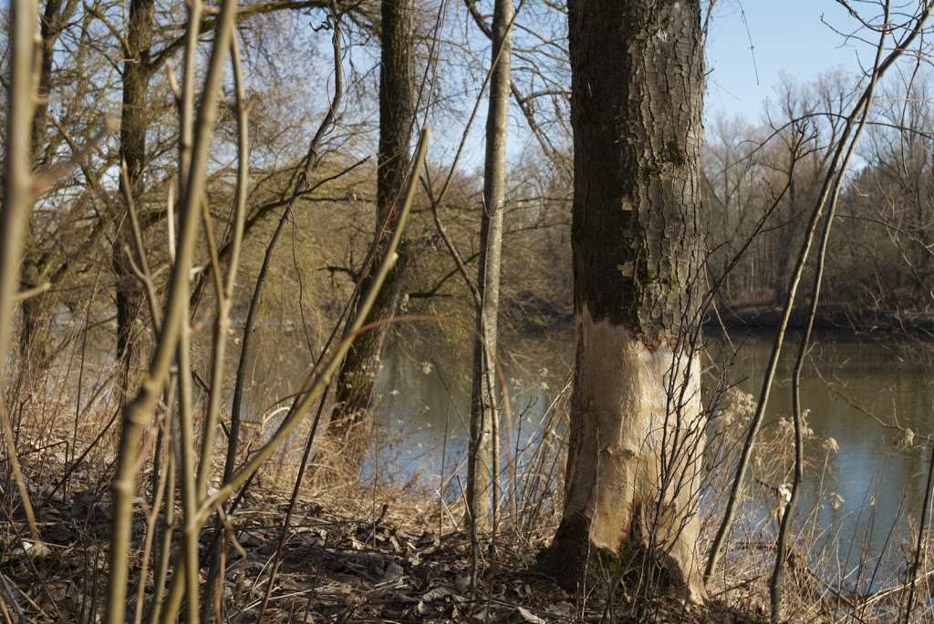 Baum mit Fraßspuren eines Biber