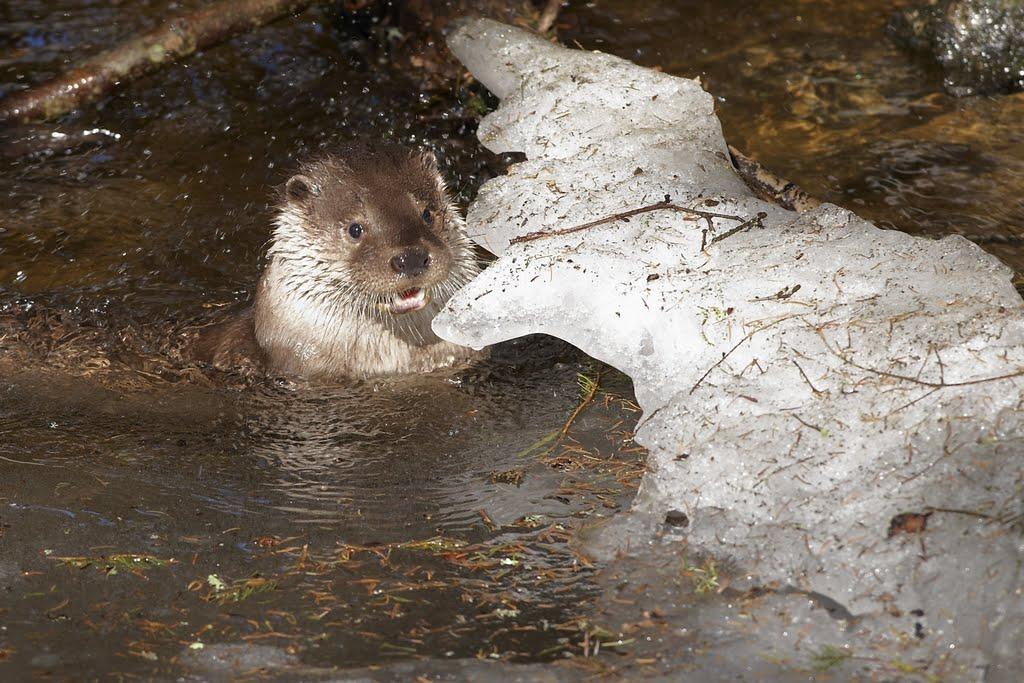 Fischotter (Lutra lutra), Nationalpark Bayerischer Wald (05. März 2011; 15:08 Uhr)