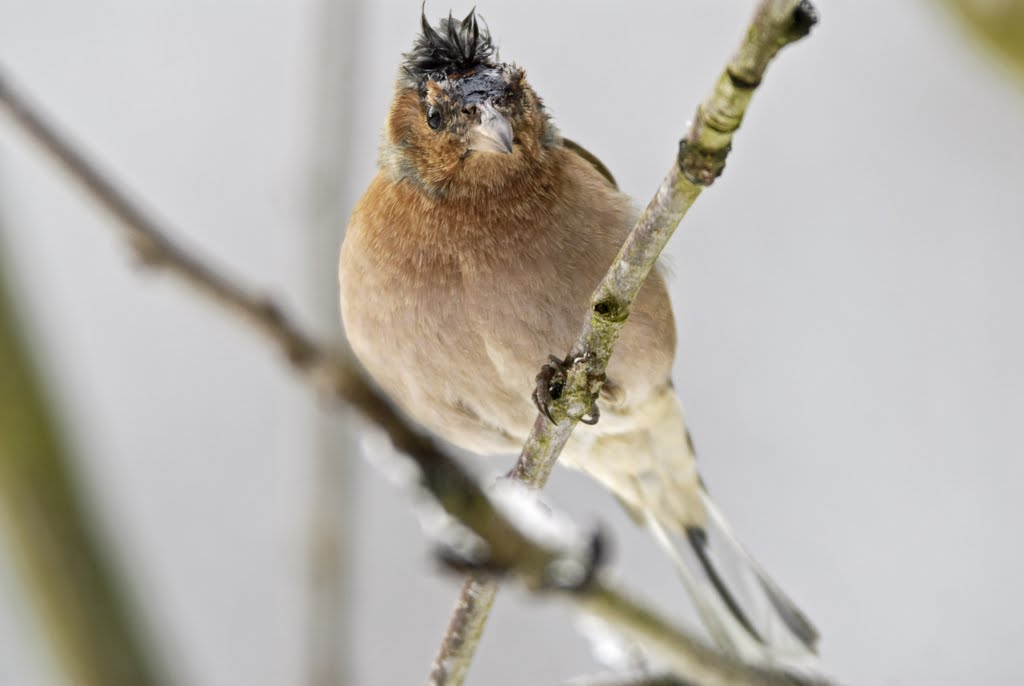 weiblicher Buchfink (Fringilla coelebs)