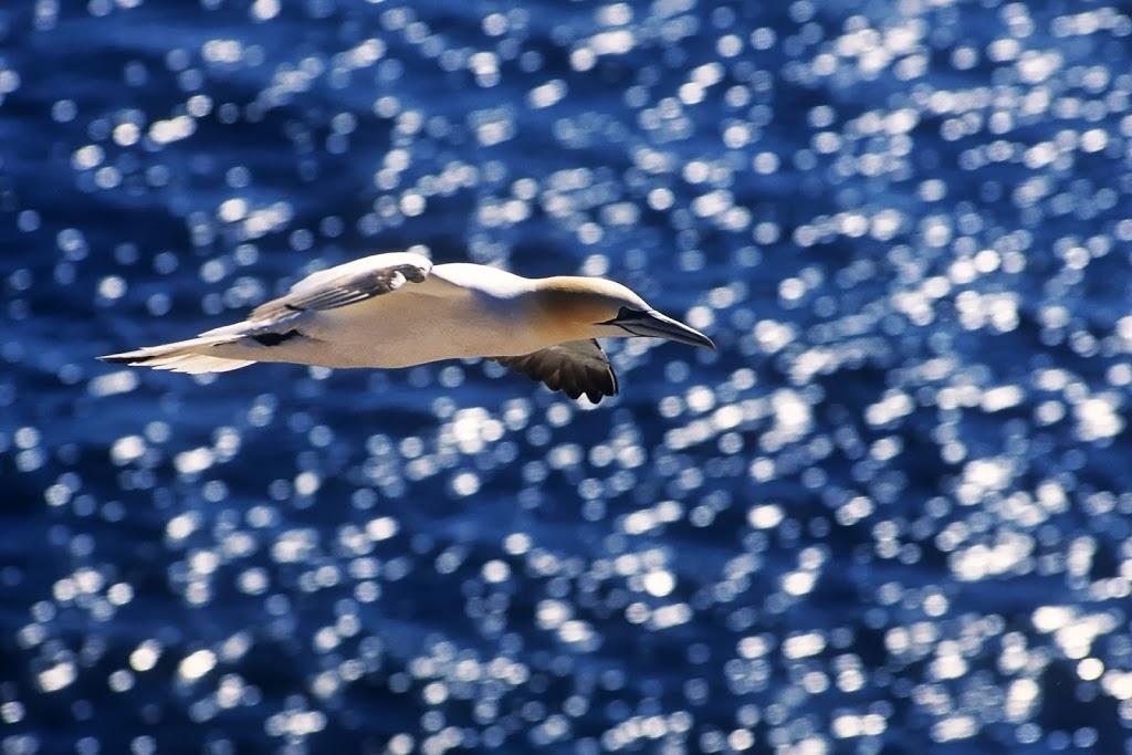 Basstölpel - Seevogel des Jahres 2016