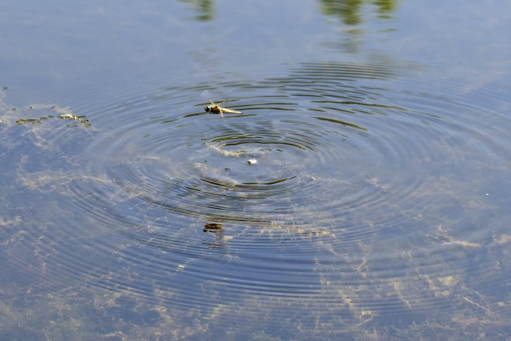 Zur Eiablage stechen viele Libellenarten wiederkehrend mit dem Hinterteil in flache Gewässer oder Uferzonen