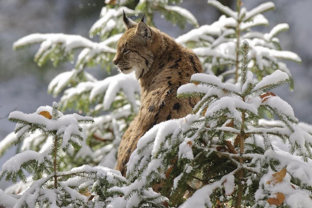 Nordluchs (Lynx lynx)