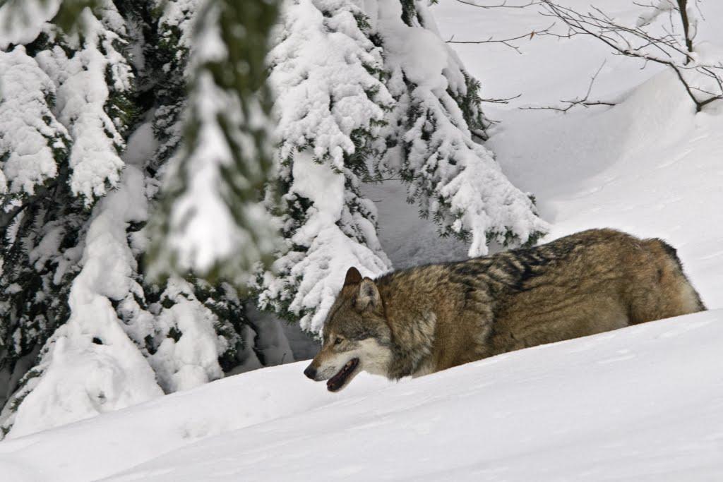 ein Wolf (Canis lupus) bahnt sich seinen Weg durch meterhohen Schnee