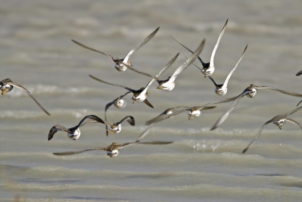 auffliegender Vogelschwarm / Lange Lacke - Neusiedler See
