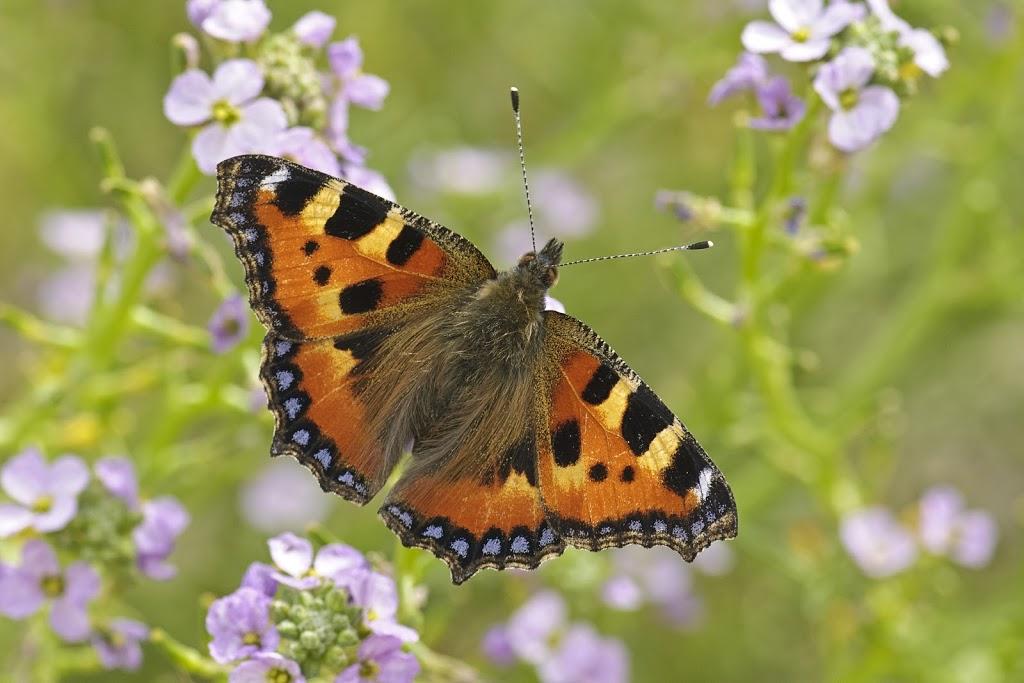 .. und wieder habe ich keine Ahnung um welchen Schmetterling es sich hier handelt!