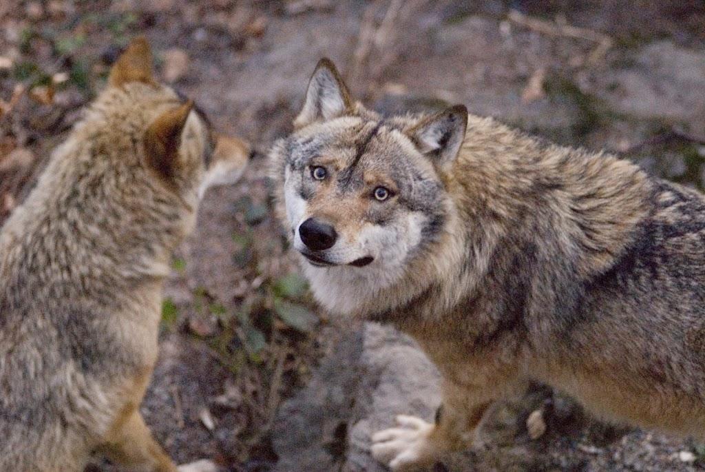 Gib dem Wolf eine Chance!