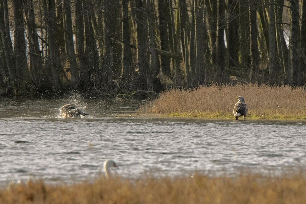 badende Seeadler