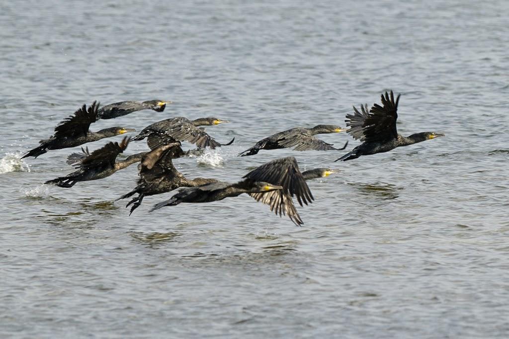 junge Kormorane (Phalacrocorax) jagen in der Gruppe