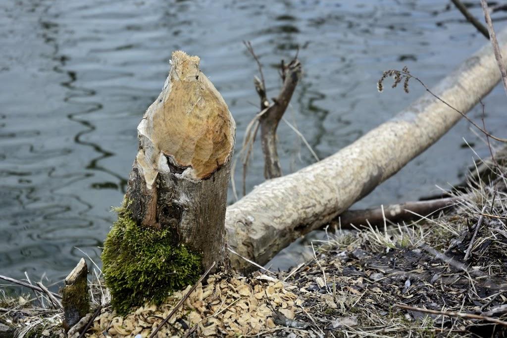 Fressspuren an einem gefällten Baum in Wassernähe