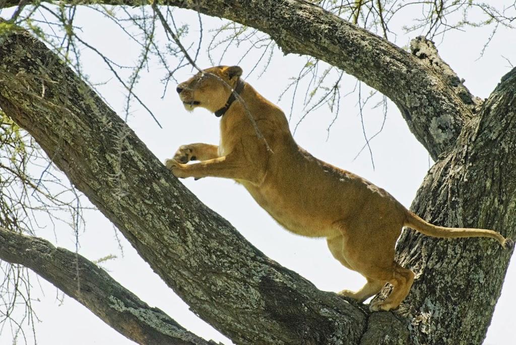 besenderter Löwe