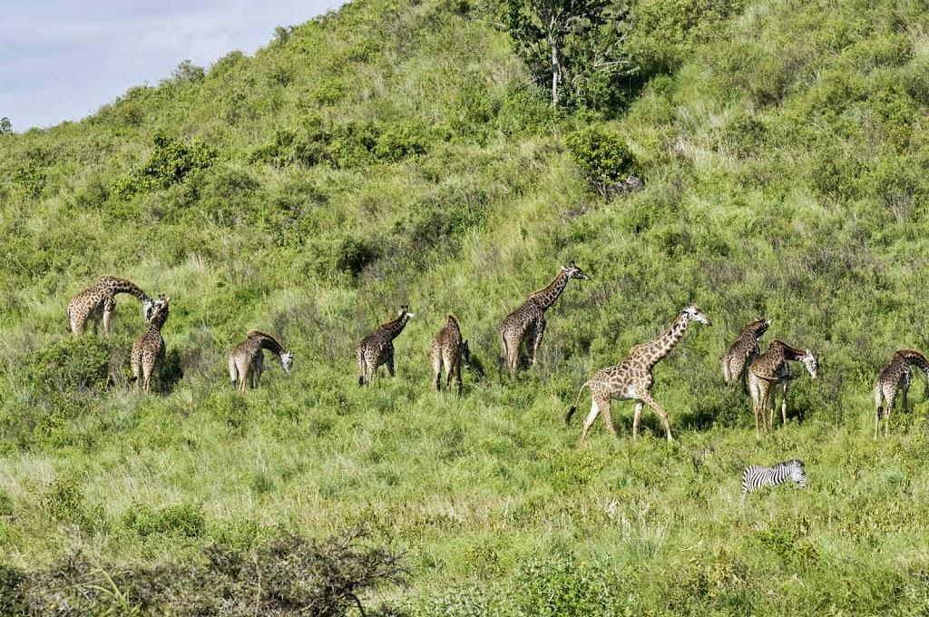 Giraffen im der Region Mt. Mero / Arusha-Nationalpark
