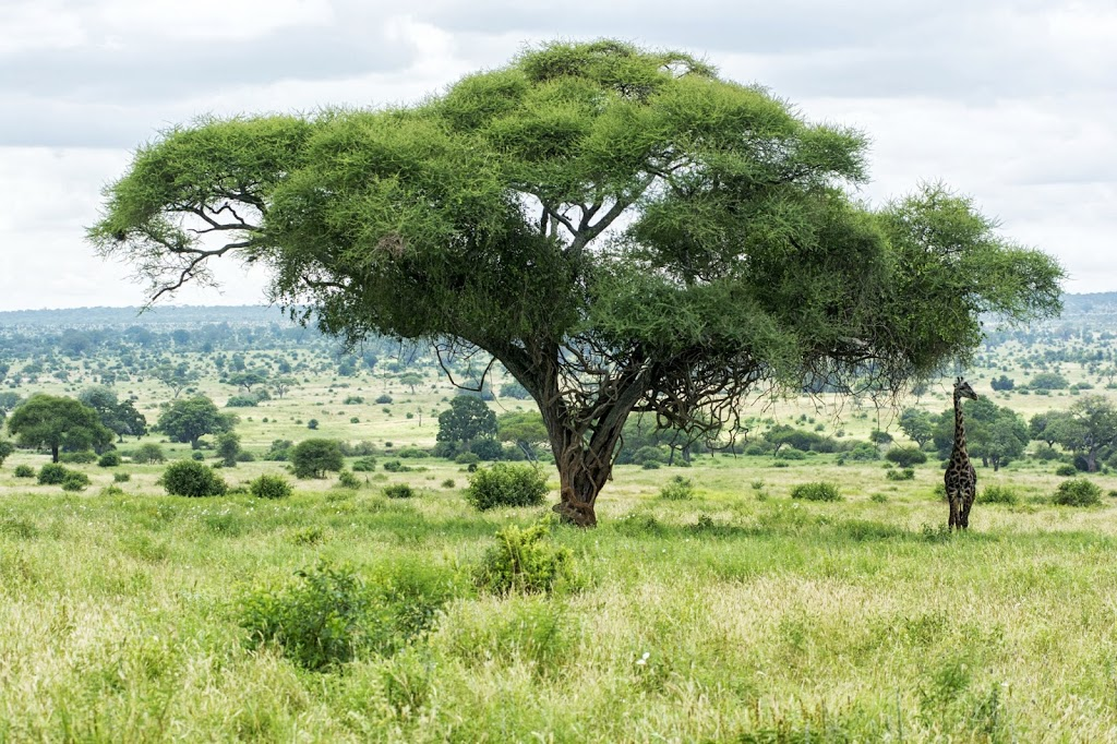 Größenverhältnis: Der Giraffenbulle hat eine Kopfhöhe von ca. 5 m