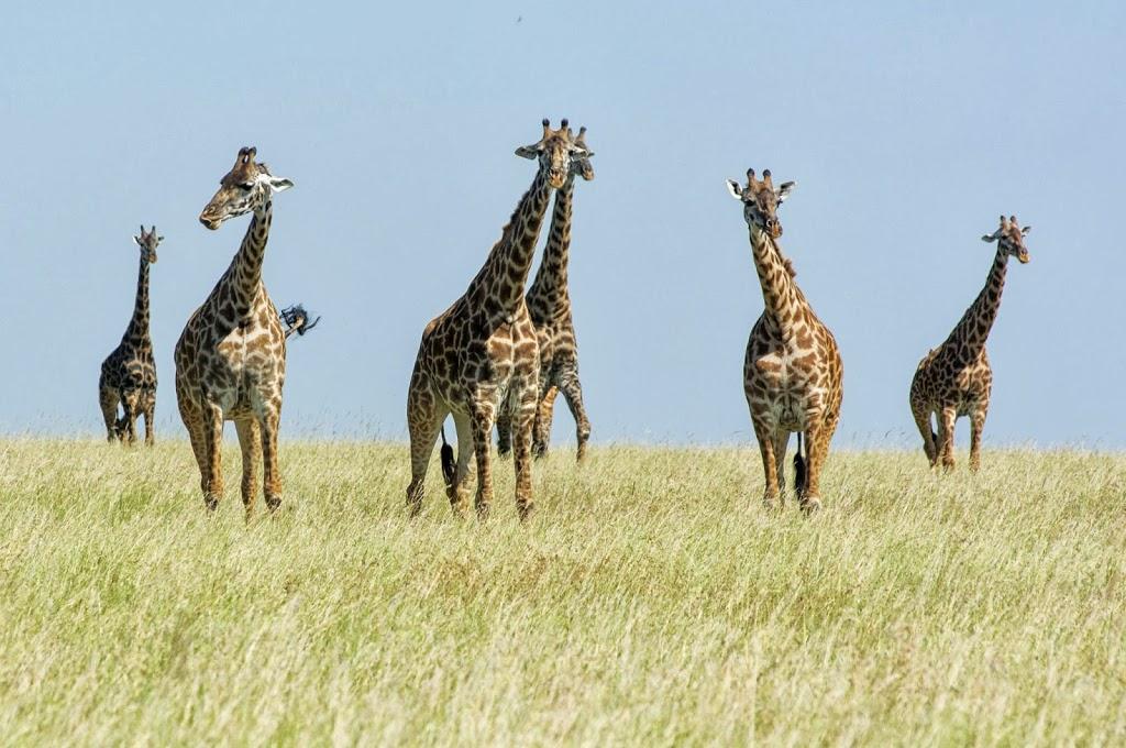 Eine Gruppe Giraffen durchwandert die Trockensavanne der Serengeti