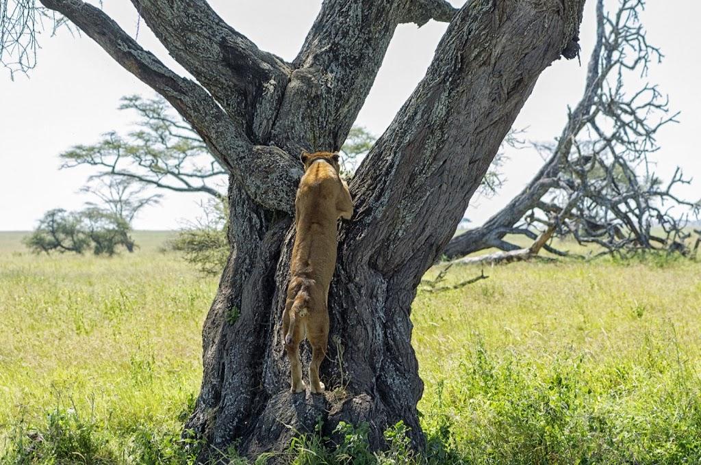 eine Löwin klettert auf einen Baum