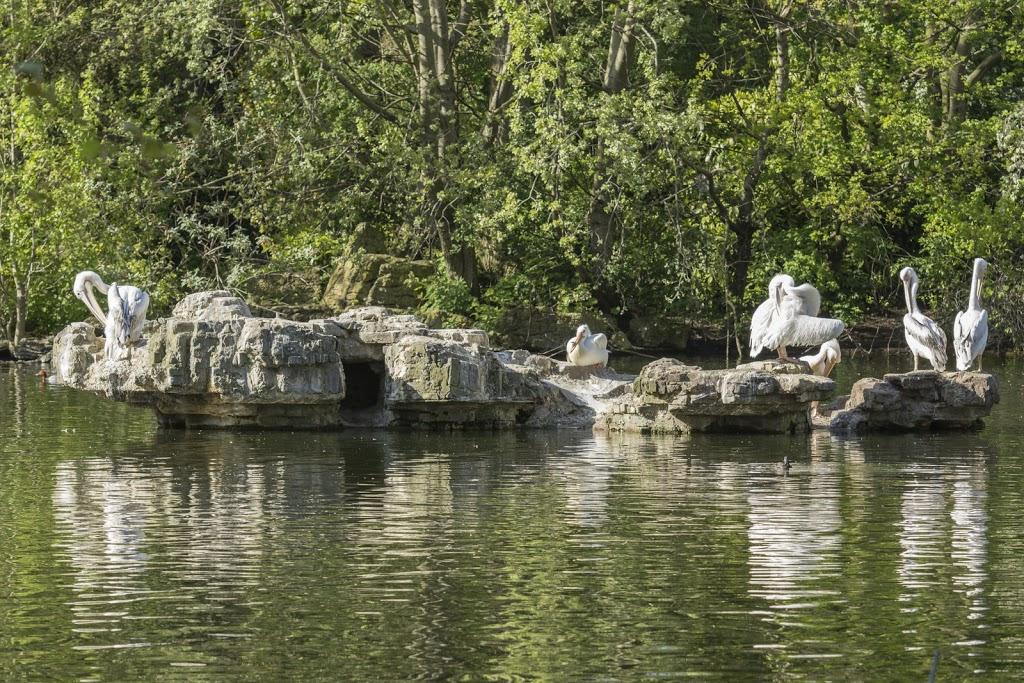 Überraschung: Im St. James Park leben Pelikane